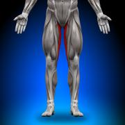 Gracilis - Anatomy Muscles - stock photo