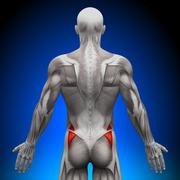 Glutes Medius - Anatomy Muscles - stock photo