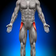 Tensor Fasciae Latea - Anatomy Muscles - stock photo