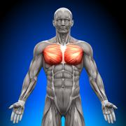 Chest / Pectoralis Major / Pectoralis Minor - Anatomy Muscles - stock photo