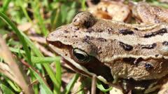 Bog frog -  macro Stock Footage