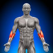 Forearms - Anatomy Muscles - stock photo