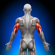 Triceps - Anatomy Muscles Stock Photos