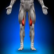 Vastus Medialis - Anatomy Muscles - stock photo