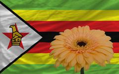 Gerbera flower in front  national flag of zimbabwe Stock Illustration