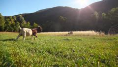 relaxed goat in pasture - stock footage