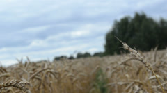Stock Video Footage of blur walk imitation ripe wheat agriculture plant ears field