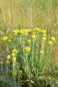 Immortelle, yellow medicinal plant, summer environment Stock Photos