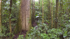 Flying up through the rainforest understory beside a giant rainforest tree Stock Footage