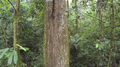 Flying  down the trunk of a giant rainforest tree in the Ecuadorian Amazon Stock Footage