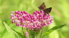 Little Glassywing (Pompeius verna) Skippers on Swamp Milkweed Stock Footage