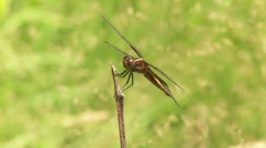 Widow Skimmer (Libellula luctuosa) Dragonflies fight for a perch Stock Footage