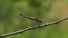 Slaty Skimmer (Libellula incesta) Dragonfly - Female 2 Stock Footage