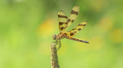 Halloween Pennant (Celithemis eponina) Dragonfly - Female 1 Stock Footage