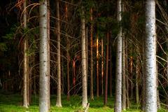 tree trunks in evening light - stock photo