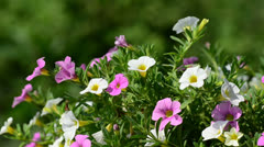 Small petunia swaying in the breeze Stock Footage