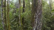 Stock Video Footage of Flying downwards from Philodendron leaves on the trunk of a rainforest tree in t