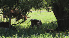 Longhorns on Texas ranch 1 - stock footage