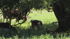 Longhorns on Texas ranch 1 Stock Footage
