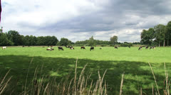 Dairy cattle grazing in small Dutch pasture - wide shot + pan Stock Footage