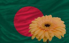 Stock Illustration of gerbera flower in front  national flag of bangladesh