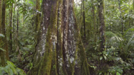Stock Video Footage of Rising up the trunk of a rainforest tree in Ecuador.