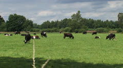 Dairy cattle grazing in small Dutch pasture - medium shot Stock Footage