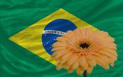 Stock Illustration of gerbera flower in front  national flag of brazil