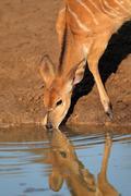 Nyala antelope drinking Stock Photos