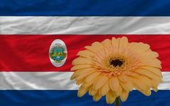 Stock Illustration of gerbera flower in front  national flag of costarica