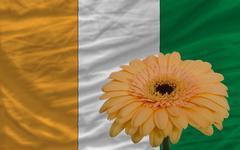 Stock Illustration of gerbera flower in front  national flag of cote ivore