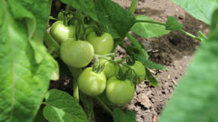 Green tomatoes Stock Footage
