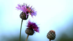 Zygaena insect on the flower (cirsium arvense) Stock Footage