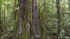 Rising up the trunk of a rainforest tree in Ecuador. - stock footage