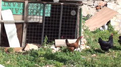Poultry free on the street Stock Footage