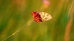 Butterfly on the flower Marbled White (Melanargia galathea) Stock Footage
