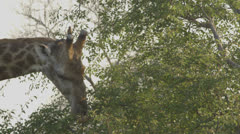 Giraffe eating leaves from a tall tree Stock Footage