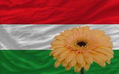 gerbera flower in front  national flag of hungary - stock illustration