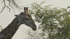 Giraffe eating from a tall tree. Stock Footage