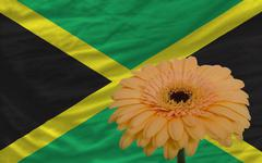Gerbera flower in front  national flag of jamaica Stock Illustration