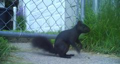 Black Squirrel - stock photo