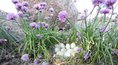 Tufted duck. nest with a large number of eggs among boulders and flowers Stock Footage