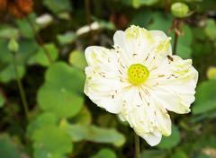 White water-lily or white lotus Stock Photos