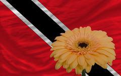 Stock Illustration of gerbera flower in front  national flag of trinidad tobago