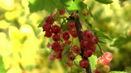 Redcurrant (ribes rubrum) berries close up. Ants moving down the stem Stock Footage