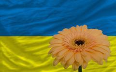 Stock Illustration of gerbera flower in front  national flag of ukraine