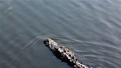 Alligator in Florida - stock footage