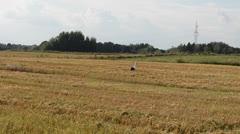 Stork walk looking food freshly harvest wheat agriculture field Stock Footage
