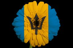 gerbera daisy flower in colors  national flag of barbados    on black backgro - stock illustration