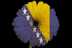Stock Illustration of gerbera daisy flower in colors  national flag of bosnia herzegovina    on bla